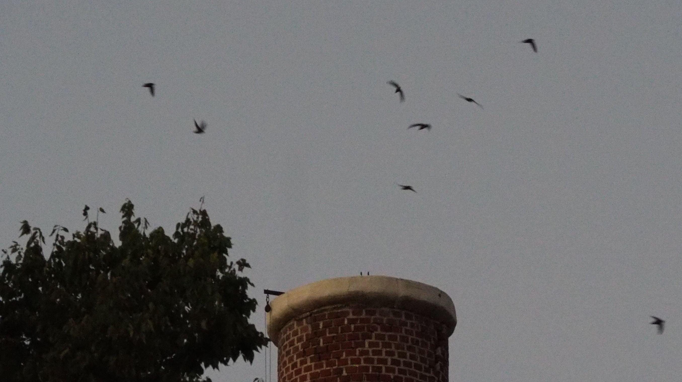 Swifts entering chimney
